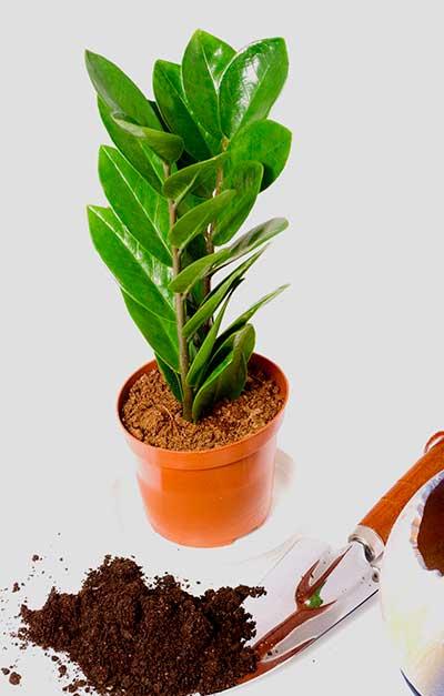 Как правильно посадить замиокулькас в домашних условиях