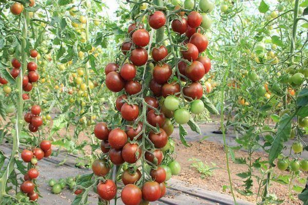 Томат марьина роща характеристика и описание сорта