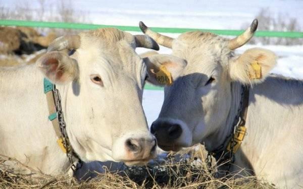 Костромская порода коров: характеристика и отзывы