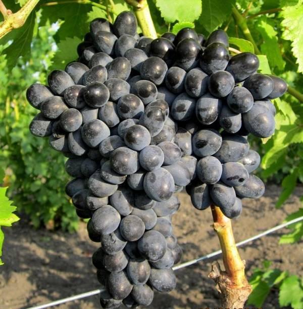 Виноград аттика: описание сорта