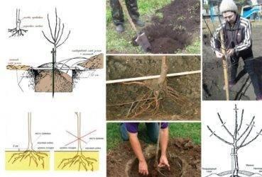 Обрезка колоновидных яблонь: схемы, как обрезать весной, летом и осенью