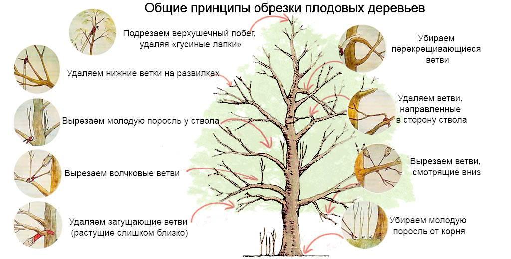 Обрезка вишни весной, формирование кроны, как правильно обрезать, схемы для начинающих в деталях + фото, видео