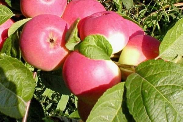 Описание сорта яблони васюган: фото яблок, важные характеристики, урожайность с дерева