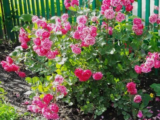 Как укрыть розы на зиму в подмосковье, сибири, средней полосе?