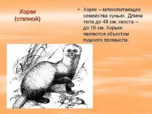 Степной хорек   описания и фото животных   некоммерческий учебно-познавательный интернет-портал зоогалактика