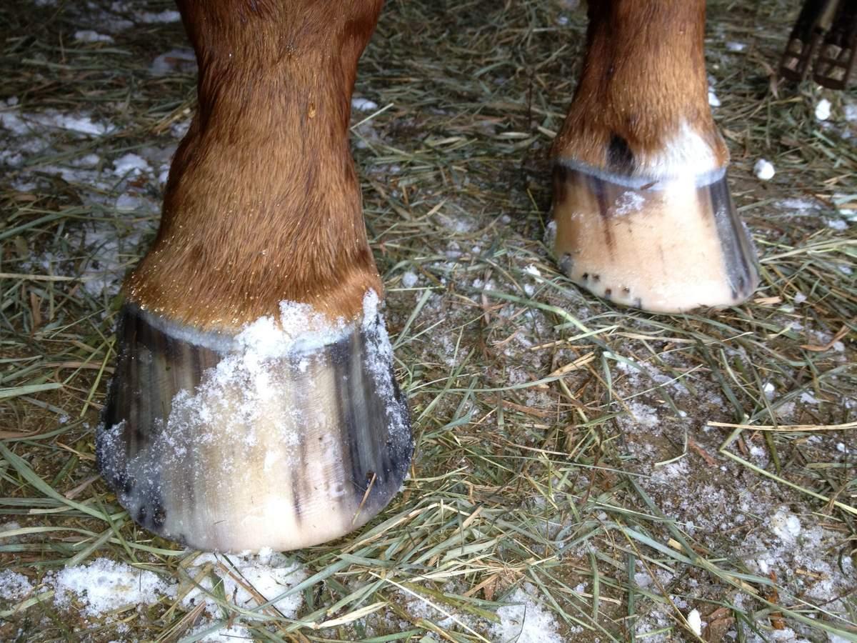 Зачем и как правильно подковывать копыта лошади, виды подков