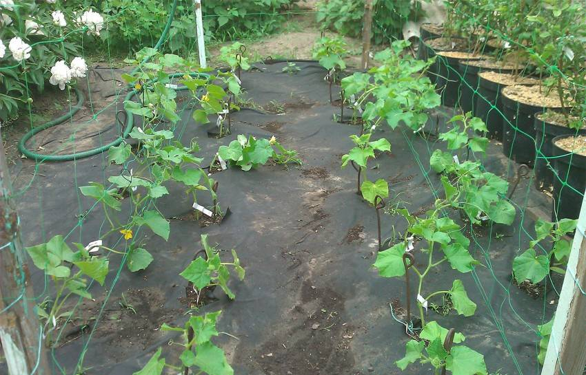 Через сколько дней всходят семена огурцов после посева: причины отсутствия всходов