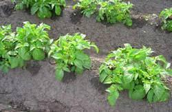 Посадка и выращивание картофеля в грядках, в шахматном порядке, советы