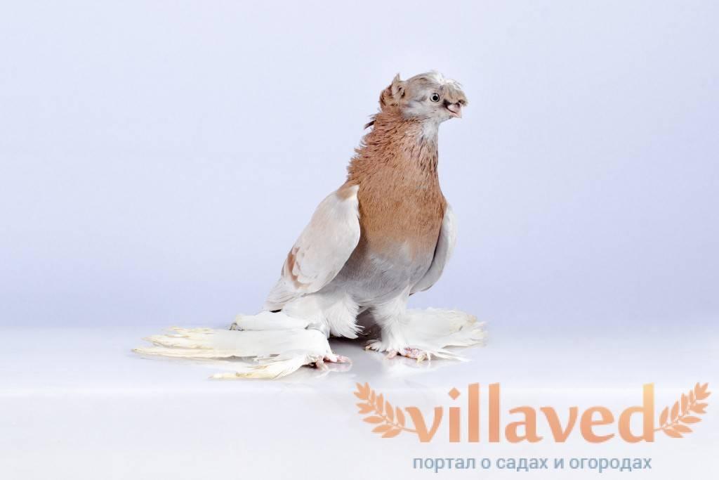 Узбекские двухчубые голуби: что за вид