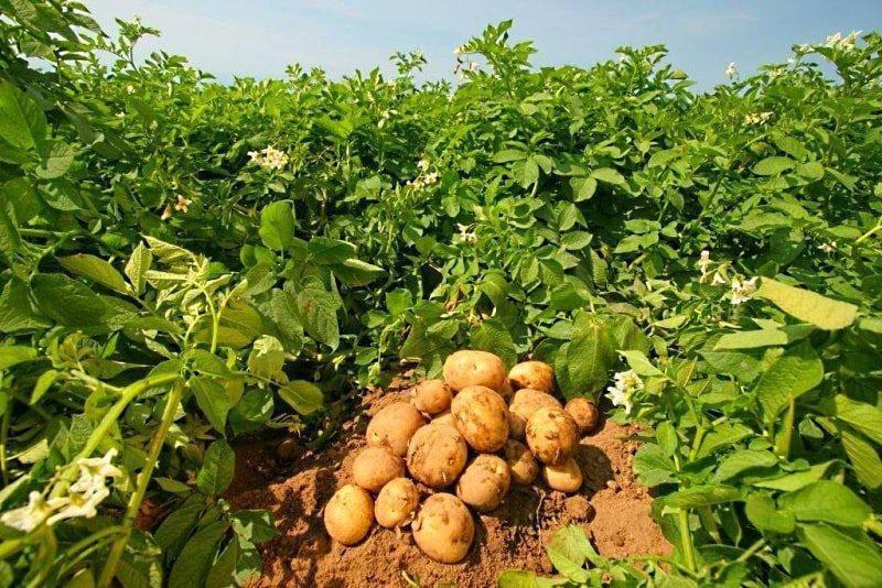 Удобрение для картофеля при посадке: выбор препаратов