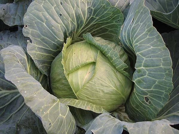 Капуста амагер: описание сорта, фото, отзывы садоводов