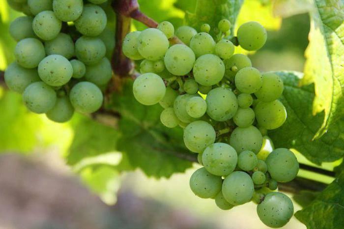 Сверхранние сорта винограда – обзор