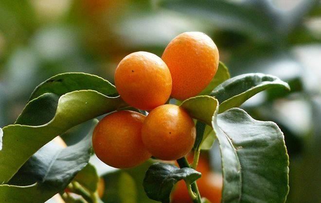 Памела (фрукт): польза, лечебные свойства и калорийность, сколько калорий в 100 г помело