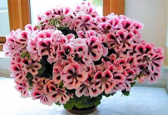Растение пеларгония королевская: уход, особенности содержания