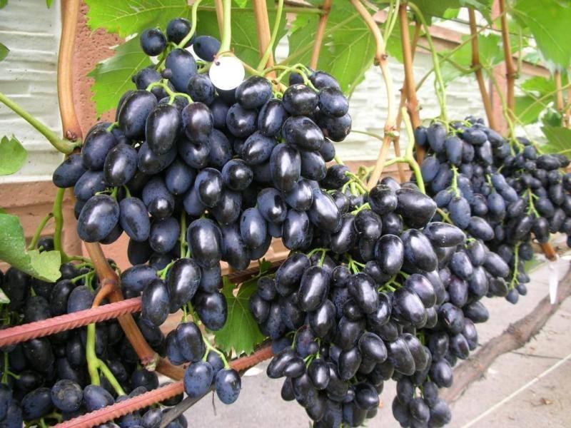 """Преимущества столового винограда """"чарли"""" перед другими сортами"""