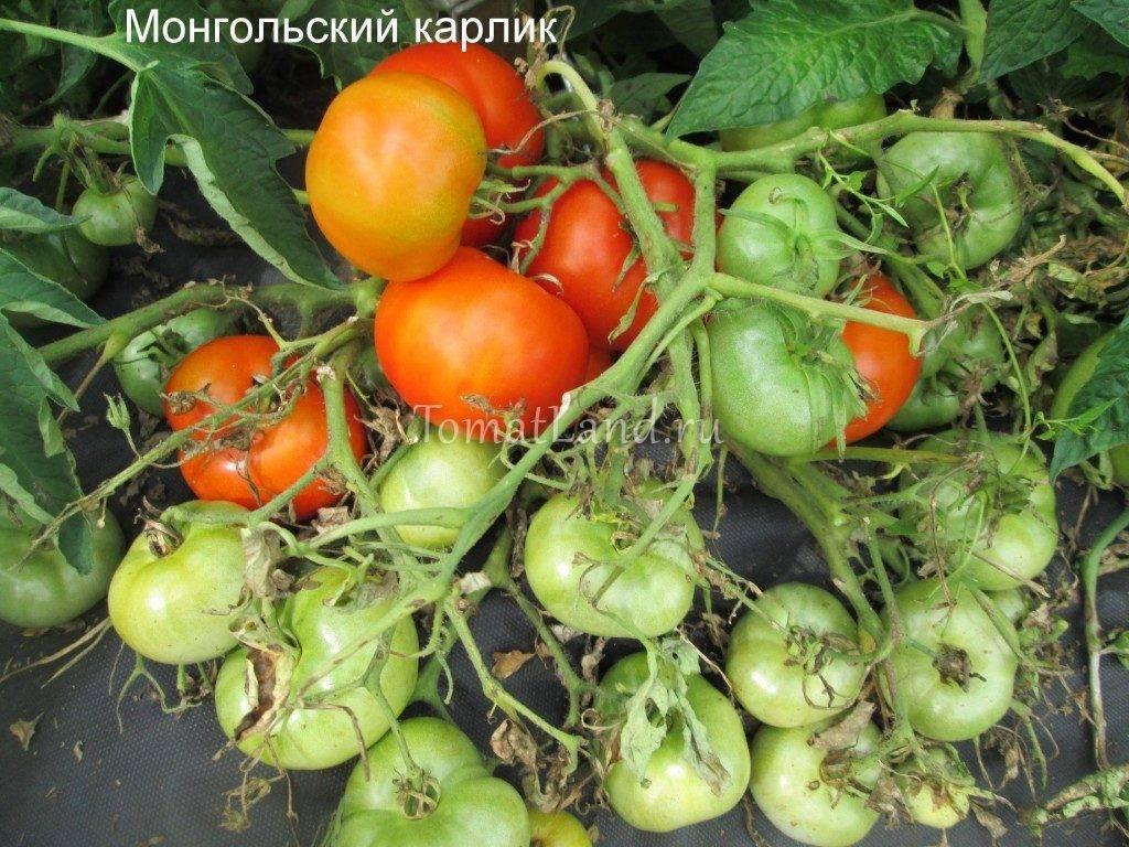Томат японский карлик: отзывы, фото, урожайность, описание и характеристика | tomatland.ru