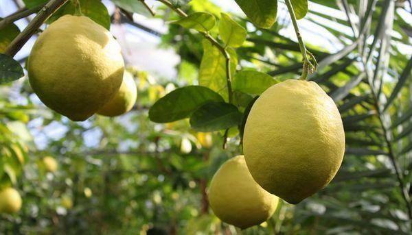 Правильный уход в домашних условиях за лимоном мейера