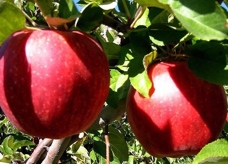 7 удивительных сортов яблок, которые можно вырастить у себя в саду