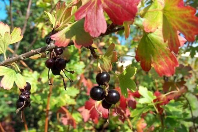 Подкормка смородины осенью станет залогом будущего урожая