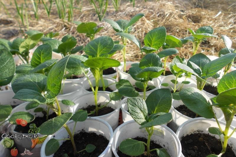 Выращивание картофеля из семян: технология и правила, видео, фото