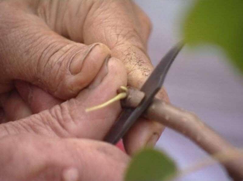 Размножение груши черенками