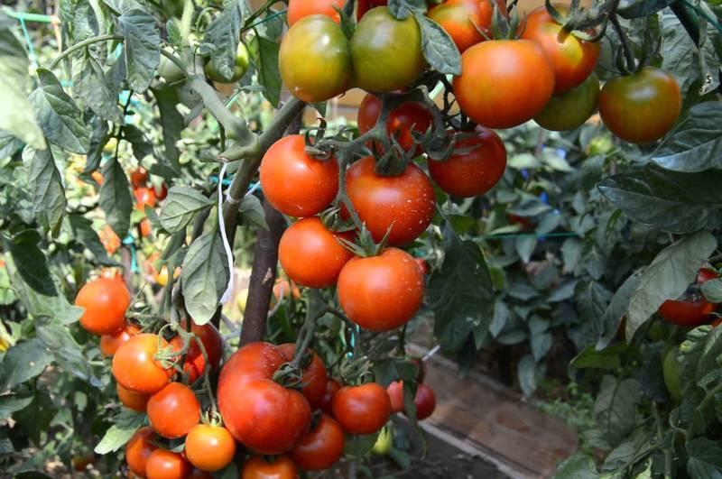 Томат видимо невидимо описание сорта, выращивание, характеристика, фото русский фермер