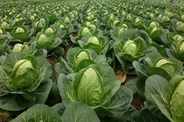 Капуста сахарная королева f1: отзывы, описание сорта, фото, урожайность