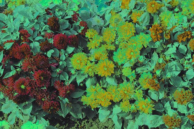Однолетние георгины: секреты выращивания из семян, рекомендации по посадке и уходу