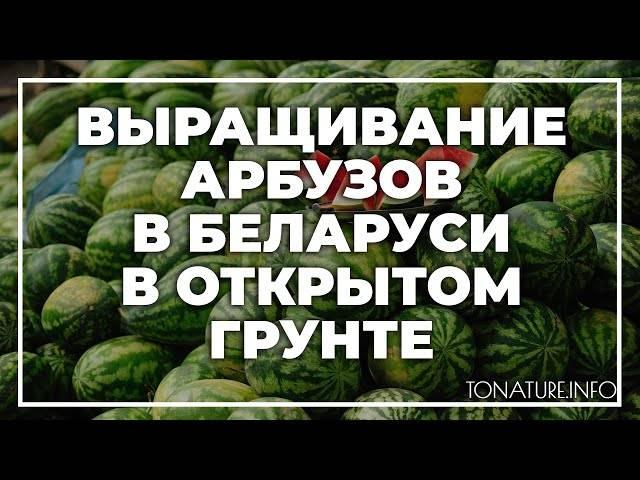 Как вырастить арбуз в открытом грунте