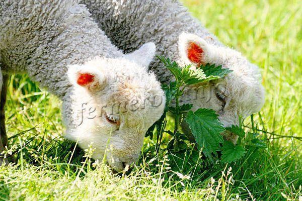 ᐉ как выкормить ягненка без овцы? - zooon.ru