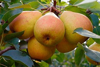 Особенности груши сорта «бергамот»: фото, отзывы