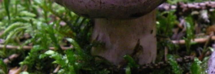 Грибы, выделяющие млечный сок: фото и описание съедобных и несъедобных грибов-млечников