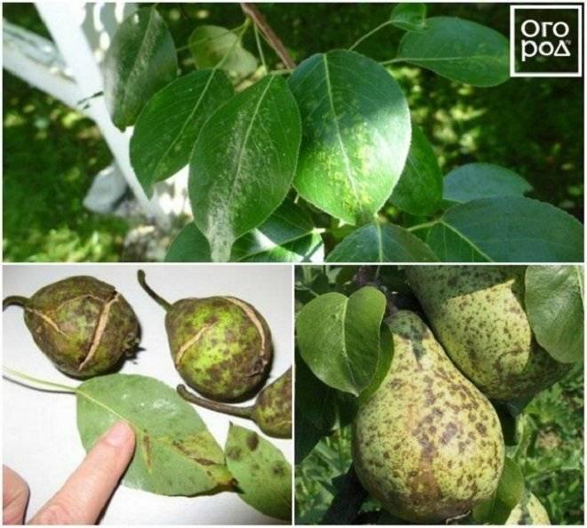 Чернеют листья на груше (25 фото): чем обработать, если листья скручиваются? что делать, если чернеют плоды и листья? лечим разные болезни