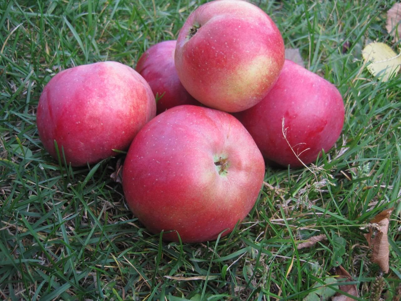 Зимостойкий сорт яблони с непревзойденной длительностью хранения — «московский поздний»