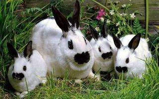 Дополнительный откорм кроликов перед забоем.