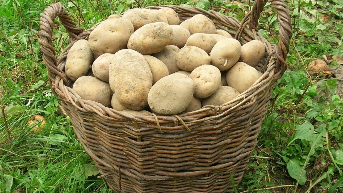 Сорт картофеля ласунок: характеристика, описание с фото, отзывы – сад и огород своими руками