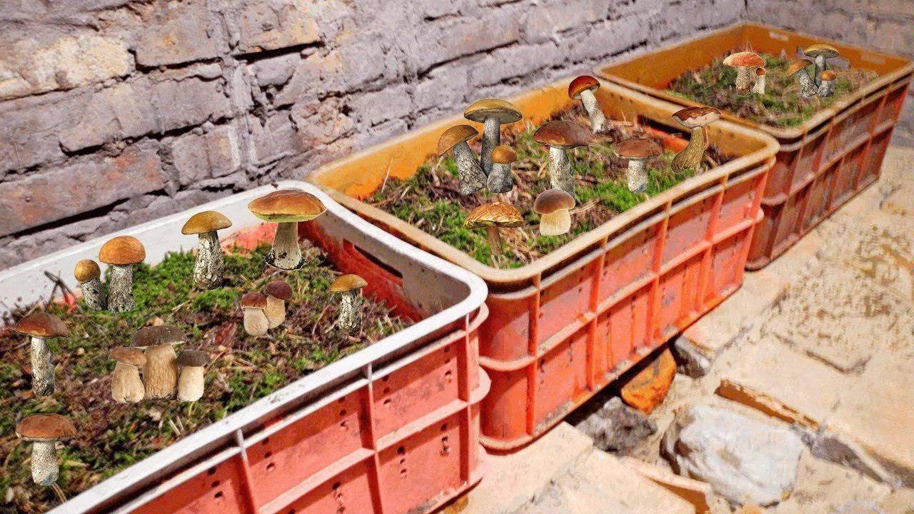 Выращивание белых грибов на подоконнике! – дачные дела