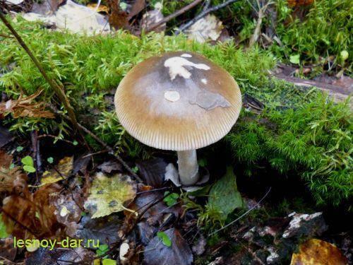 Грибы толкачики: где искать и как готовить. гриб поплавок: фото и описание