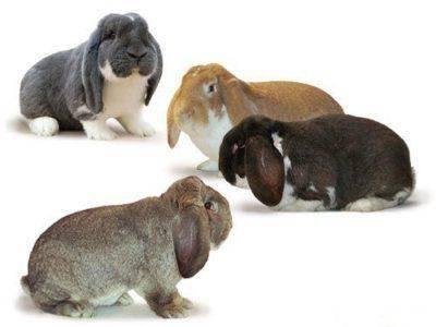 Кролики породы баран - описание породы, содержание, разведение