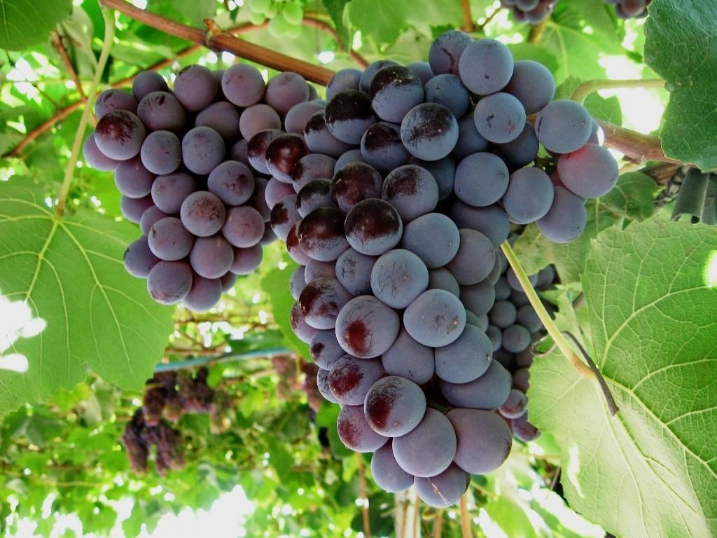 Сорта винограда без косточек: названия и описание с фото, как размножается, калорийность, польза и вред, отзывы