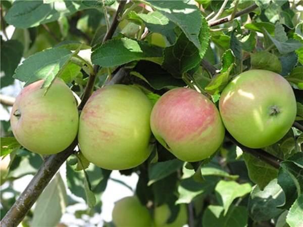Мельба — отличная летняя яблоня
