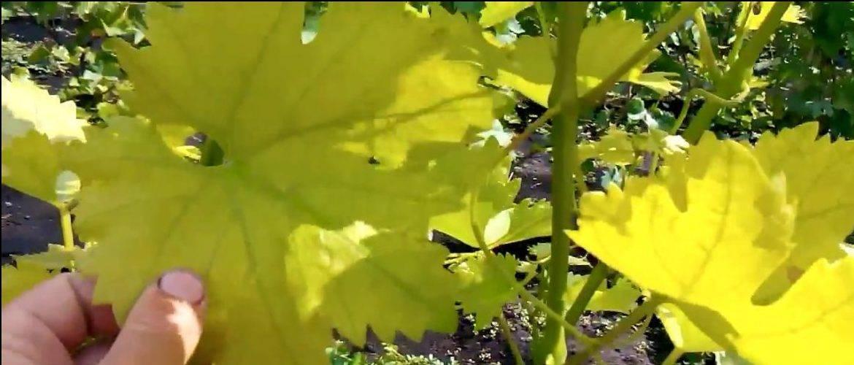 Причины пожелтения листьев винограда - мыдачники