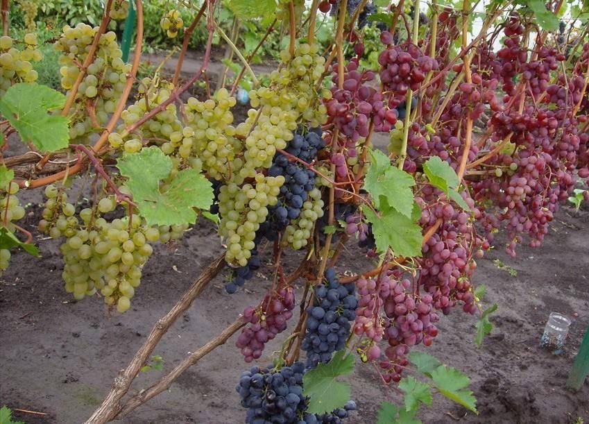 Опасные ошибки при укрытии винограда на зиму