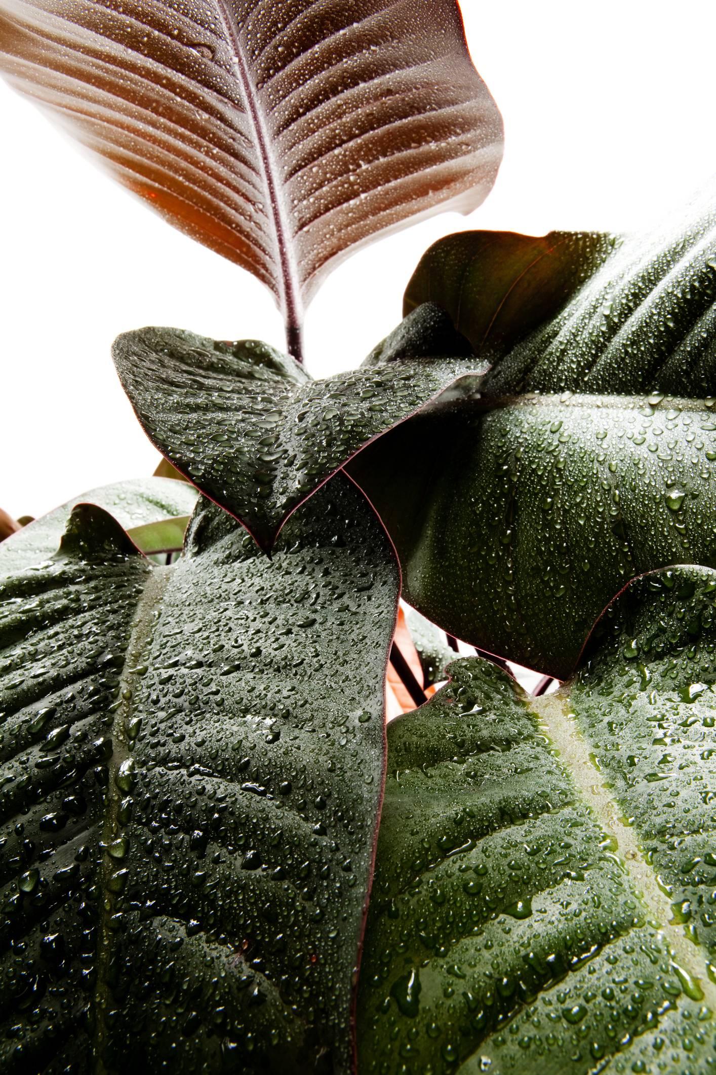 Фикус каучуконосный в домашних условиях: виды и сорта, хорошо растущие в доме, посадка и уход, правила размножения и формирования кроны   (130+ фото & видео)