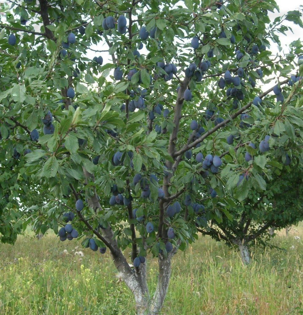 Сорт сливы анна шпет, описание, характеристика и отзывы, особенности выращивания