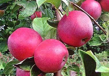 Яблоня елена: описание сорта, фото, отзывы