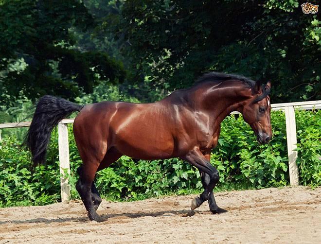 Английская чистокровная лошадь — описание породы