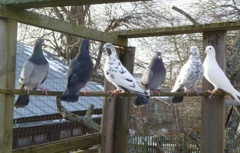 Высоколетные английские голуби типплер - дача мечты