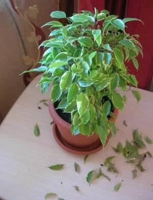 Фикус бенджамина сбрасывает листья – почему (ч. 1)
