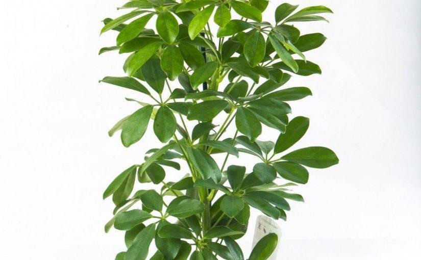 Шефлера: уход в домашних условиях, почему сбрасывает листья, фото